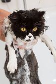 Bathing A Cat
