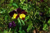 Tricolor Pansies