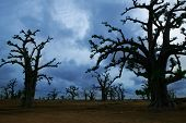 Africa Baobab trees in a cloudy gray day