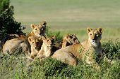 foto of african lion  - Beautiful Lion in the grass of Masai Mara Kenya - JPG