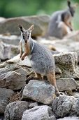 foto of wallabies  - A close up shot of an Australian Rock Wallaby