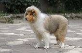 Male Rough Collie Puppy