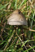 Dung Fungus - Panaeolus semiovatus