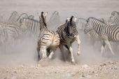 Zebras Fighting