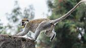 Monkey On A Ledge