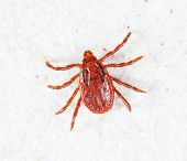 picture of ixodes  - Close up male rhipicephalus sanguineus on recycle paper background - JPG