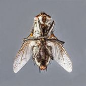 picture of blowfly  - Extreme close up dirty died sarcophaga species fly isolated on gray background  - JPG