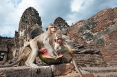 Lopburi Thailand. Monkey ( Crab-eating or Long-tailed macaque ) in Prang Sam Yot temple. Khmer ancient Buddhist pagoda ruins are famous thai tourist travel destination poster