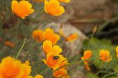windblown California poppies with glistening green fly