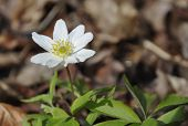 stock photo of windflowers  - Anemone nemorosa is an early-spring flowering plant in the genus Anemone in the family Ranunculaceae native to Europe. Common names include wood anemone windflower thimbleweed and smell fox an allusion to the musky smell of the leaves. 