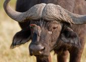 Portrait Of A Wild African Buffalo In Souther Africa.
