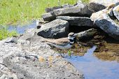 pic of killdeer  - Killdeer (Charadrius vociferous) on the rocks of a man-made water hole.
