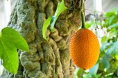 Gac Fruit, Baby Jackfruit
