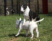 Two bull terriers playing