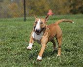 Red bull terrier running