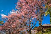 Cherry Blossom Blooming Infront Of House