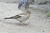Common chaffinch,female
