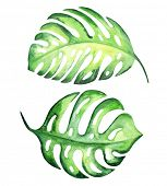 Tropical exotic leaves, monstera. Watercolor illustration.