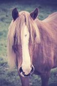 Vintage Portrait Of A Chestnut Horse With Long Foretop.