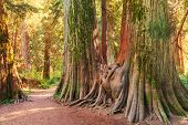 Giant cedar forest