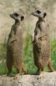 Couple Of Suricates
