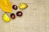 Horse Chestnuts Design
