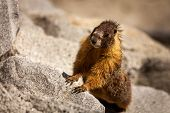 stock photo of marmot  - Standing marmot watching curiously in the middle of grey rocks - JPG