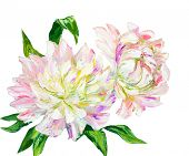 Peonies isolated on white, oil painting on canvas