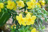 stock photo of trumpet flower  - Beautiful yellow flower Golden trumpet vine Yellow bell  - JPG