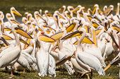 Pelicans At The Lake