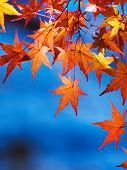 Bright orange autumn japanese maple leaves against a deep blue sky.