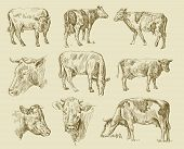 cows hand draw