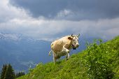 Swiss  Brown milk cows in a pasture in the alp,  Switzerland Interlaken - Lauterbrunnen Selective Focus