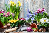 picture of plant pot  - Gardener planting spring flower - JPG