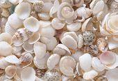 foto of shells  - Shells background many simple small shells white - JPG