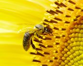 picture of sunflower  - bee on the flower in the  sunflower - JPG