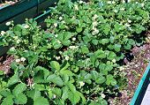 foto of strawberry plant  - Flowering strawberry plant on the gardenbed in the spring - JPG