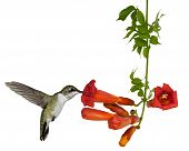 hummingbird feeds from a trumpet vine
