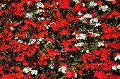foto of begonias  - Red Begonias mixed with white Pelargoniums nature background - JPG