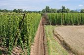 foto of hop-plant  - summer landscape with hop garden and wheat field - JPG