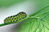 Beautiful Caterpillar