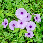 stock photo of glory  - purple glory flowers with droplet on a green leaves background - JPG