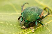 figeater beetle