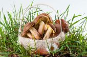 pic of fungus  - Boletus edulis and White fungus in the basket in a green grass on white background - JPG