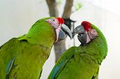 stock photo of parrots  - Two Great green macaw parrots  - JPG