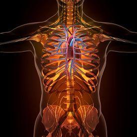 picture of organ  - Anatomy of human organs in x - JPG