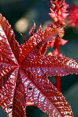 Red Leaf Of Castor Oil Plant