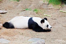 stock photo of panda  - Close - JPG