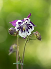 stock photo of columbine  - Aquilegia vulgaris  - JPG