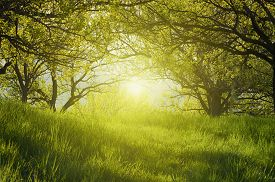 foto of orchard  - Spring sunny cherry plum orchard - JPG